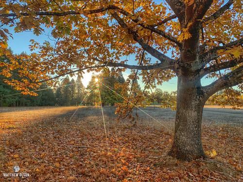 sunrise autumn oaktree oak leaves fall champoeg oregon orange morning trees branches iphone iphonexsmax hdr