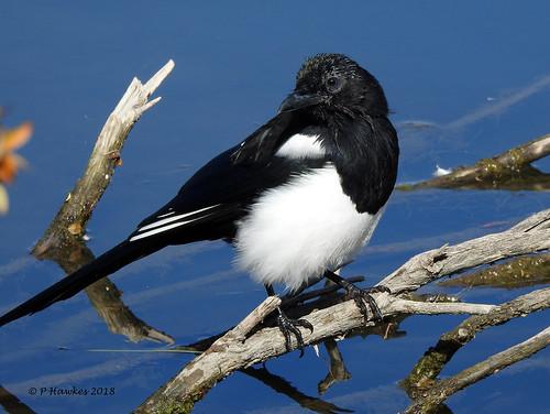 bird blackbilledmagpie bridlewoodwetlands pamhawkes