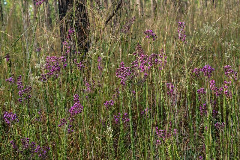 Trilisa paniculata