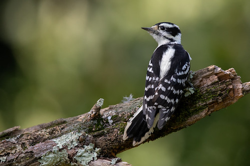 Downy Woodpecker | by Rob & Amy Lavoie