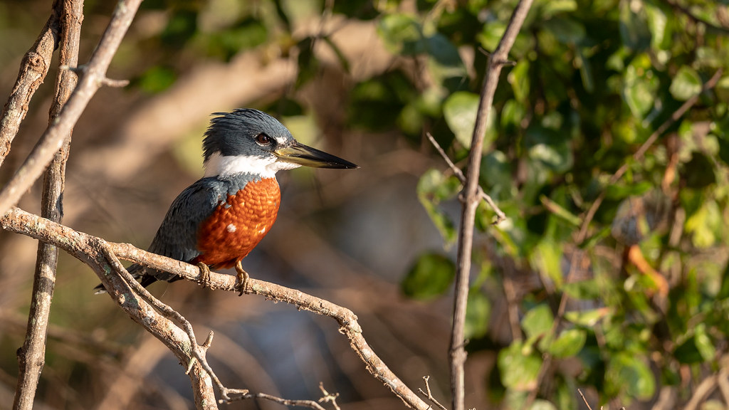 Ringed Kingfisher Morning