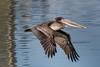 Brown Pelican in Flight, Lake Merritt Wildlife Sanctuary, Oaklan by takasphoto.com