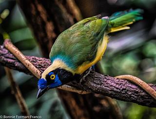 INCA JAY BIRD  20181017_2018 BRONX ZOO_D85_7069 | by Bonnie Forman-Franco