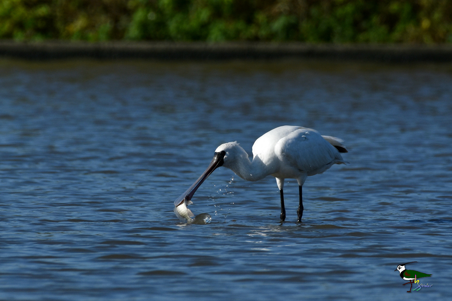 Black-faced_Spoonbill_9790