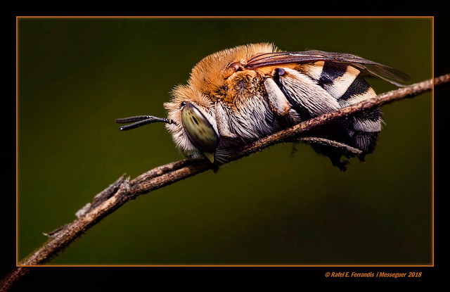 L'abella dorment (Anthidium punctatum) Sleeping Bee (L'ullal de Baldoví, Sueca, València, Spain)