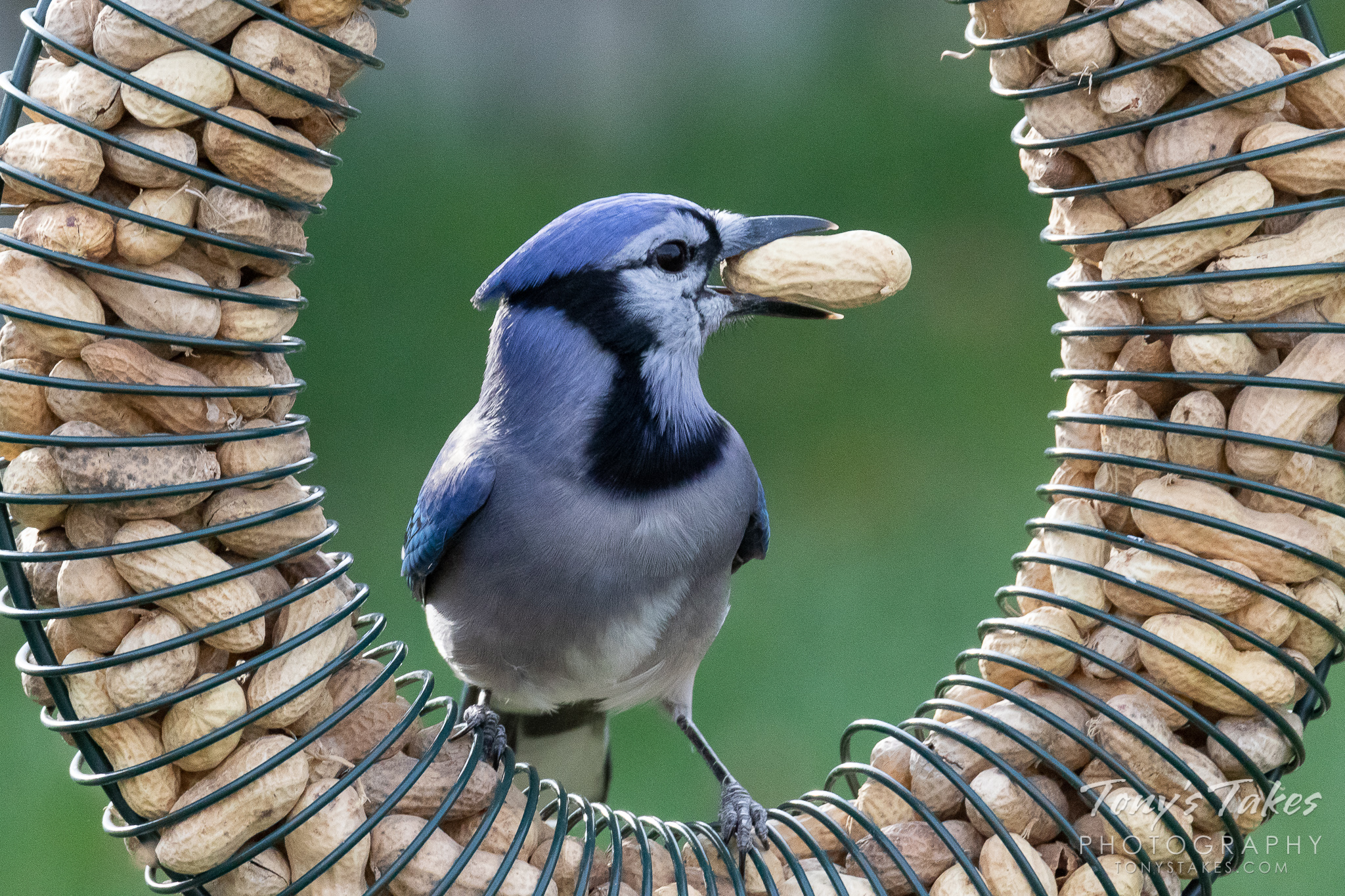 Backyard Blue Jay grabs a snack