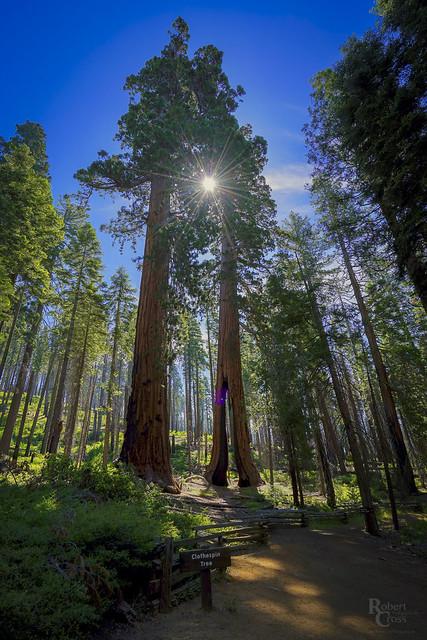 Sunlight Through Sequoias