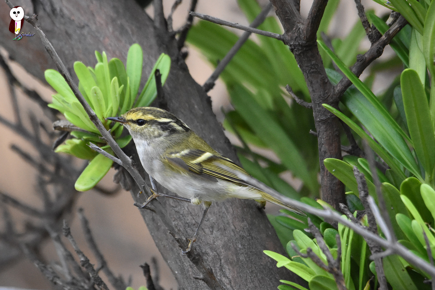 Yellow-browed_Warbler_6290