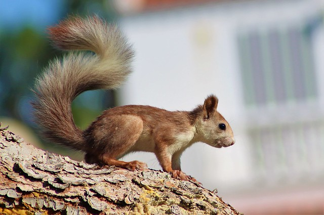 ardilla roja europea / Eurasian red squirrel