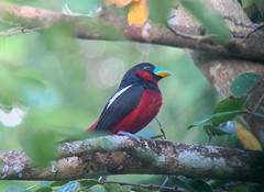 Black-and-red Broadbill at Kaeng Krachan