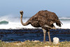 Common Ostrich (Struthio camelus) by Ardeola
