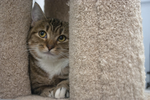 Figgy - 1 year old spayed female   by carescatshelter