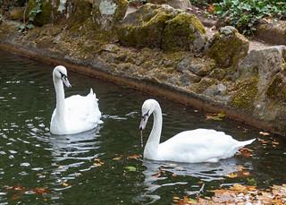 Mute swan/Cisne-vulgar (Cygnus olor)