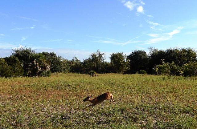 run, Bambi, run!