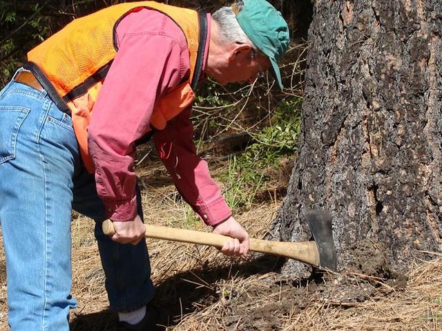 c.2010. Forest pathologist Jim Hadfield gathers information about a tree's soundness with a pulaski. Hazard tree evaluation.