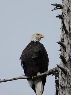october 3 2018 13:06 - Eagle in Fosters* Fir | by boonibarb