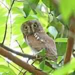 Oriental Scope Owl - Grey Morph 東方角鴞 - 灰色 @ Singapore Dairy Farm Nature Park ( Date : 09-12-2018 )