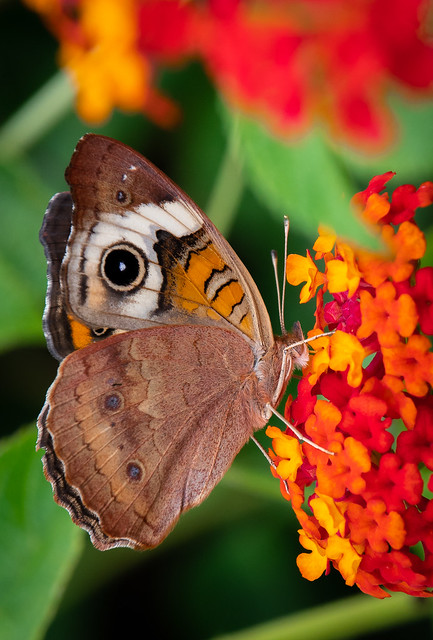 Buckeye Butterfly Having Nectar