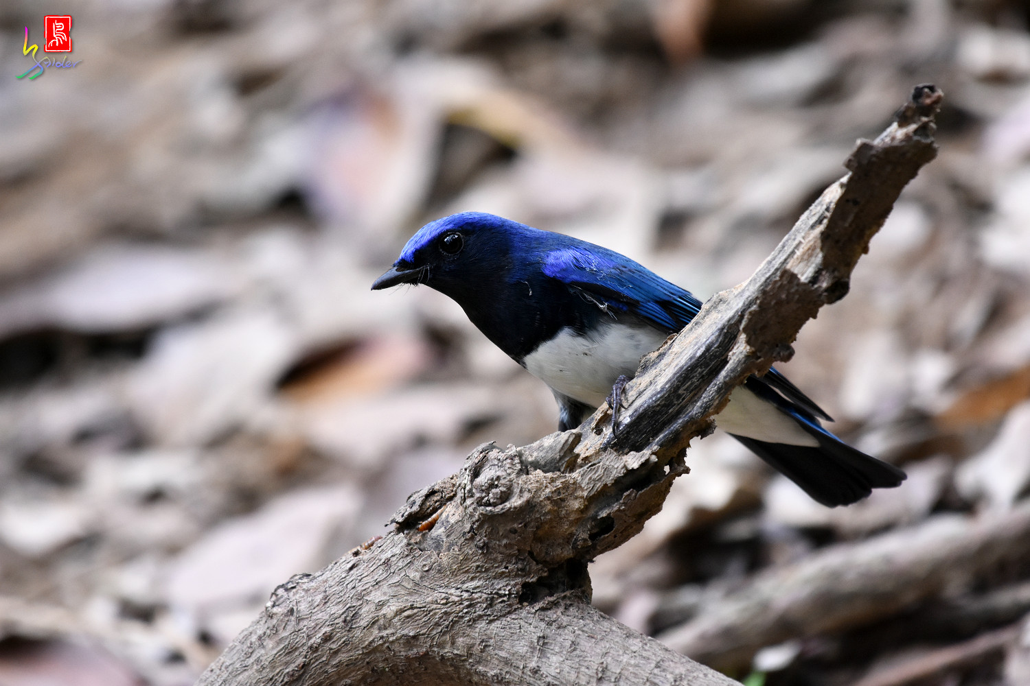 Blue-and-white_Flycatcher_9001