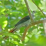 Great cuckoo-dove (Reinwardtoena reinwardti) 赤灰长尾鸠