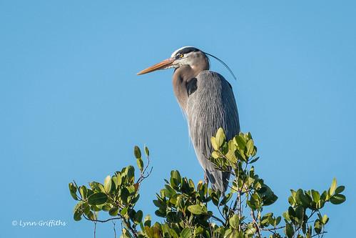 herons birds greatblueheron nature ardeaherodias bird ciconiiformes coast fauna heron marsh wading wildlife wetland fortmyers florida unitedstates us coth specanimal ngc coth5 npc ardeidae