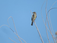 Willow Flycatcher, Salton Sea SRA, 9/22/2018
