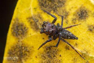 Jumping spider (cf. Parabathippus sp.) - DSC_4524