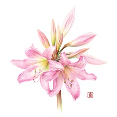 Amaryllis belladonna - Pascal Brault
