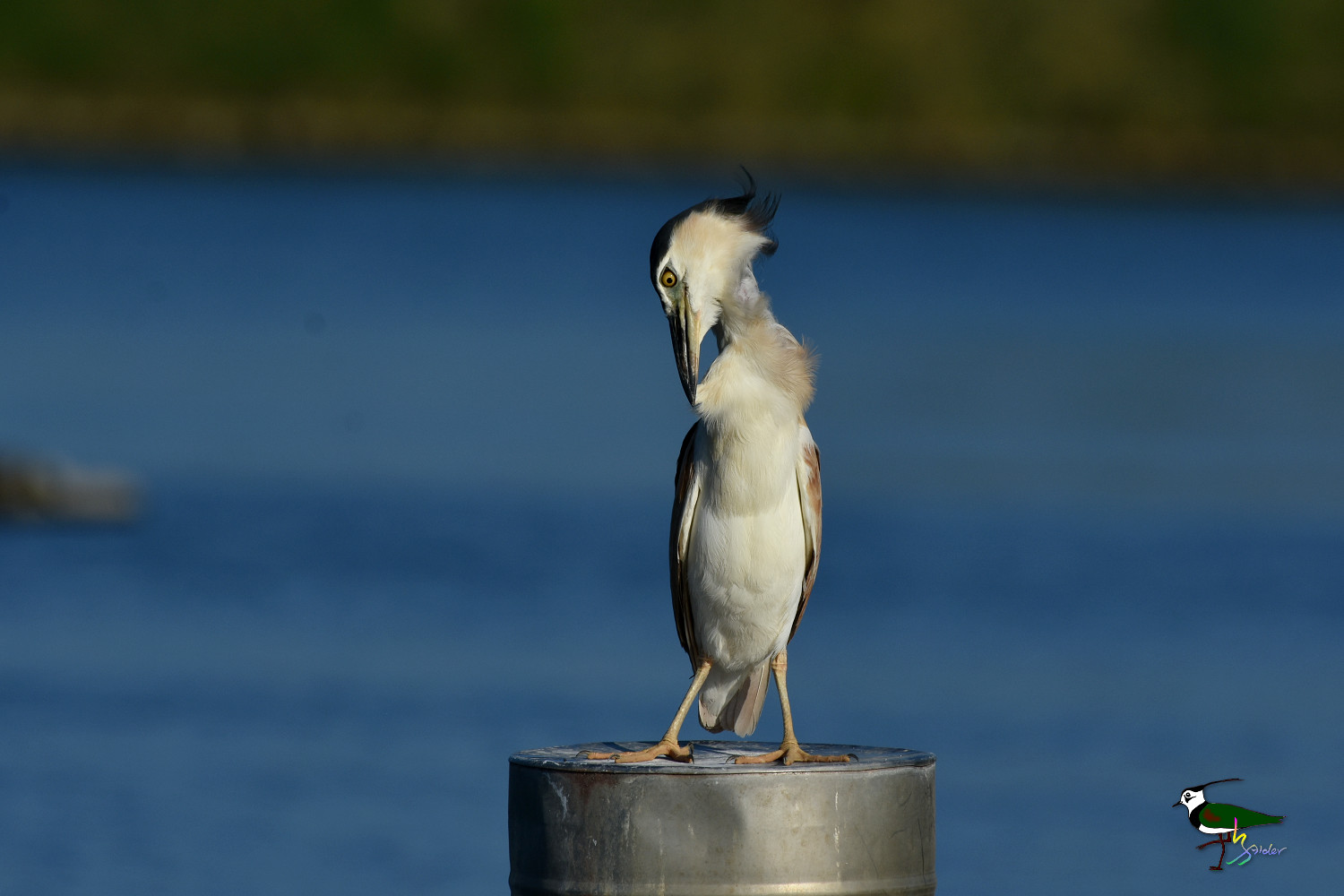 Rufous_Night_Heron_9352