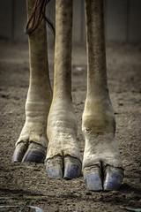 Masai Giraffe Hooves01