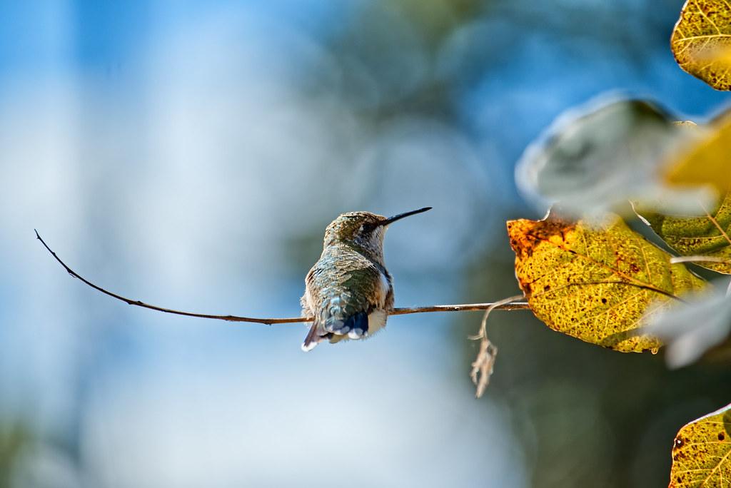 Female Ruby throated humming bird on twig