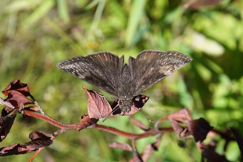 Wild Indigo Duskywing Butterfly   Project Noah