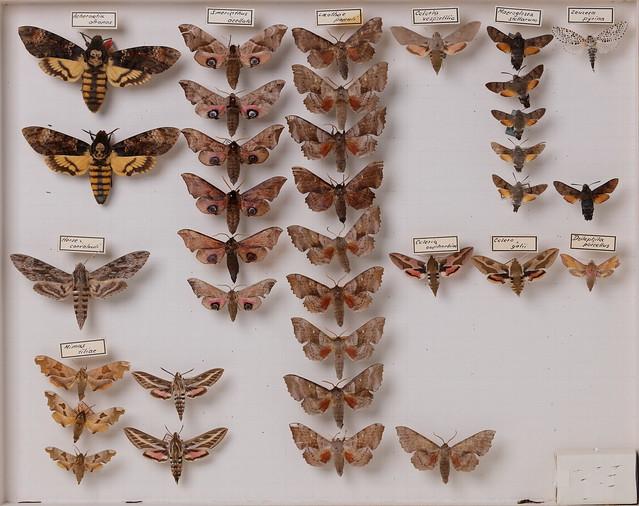 lepidoptera-sphingidae-acherontia-mimas-celerio-deilephila-smerinthus-4335