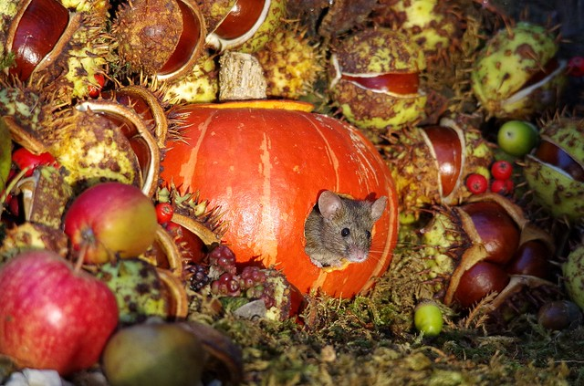 Mouse inside a Autumn pumpkin  (6)