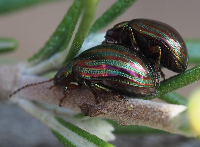 PA100033 Rosemary leaf beetle