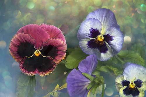 Sonnenberg Gardens & Mansion Historic Park ~ Canandaigua NY ~  Painted  Pansies | by Onasill ~ Bill Badzo - OFF