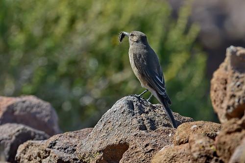 Серобрюхий сорокопутовый тиранн, Agriornis micropterus andecola, Grey-bellied Shrike-Tyrant   by Oleg Nomad