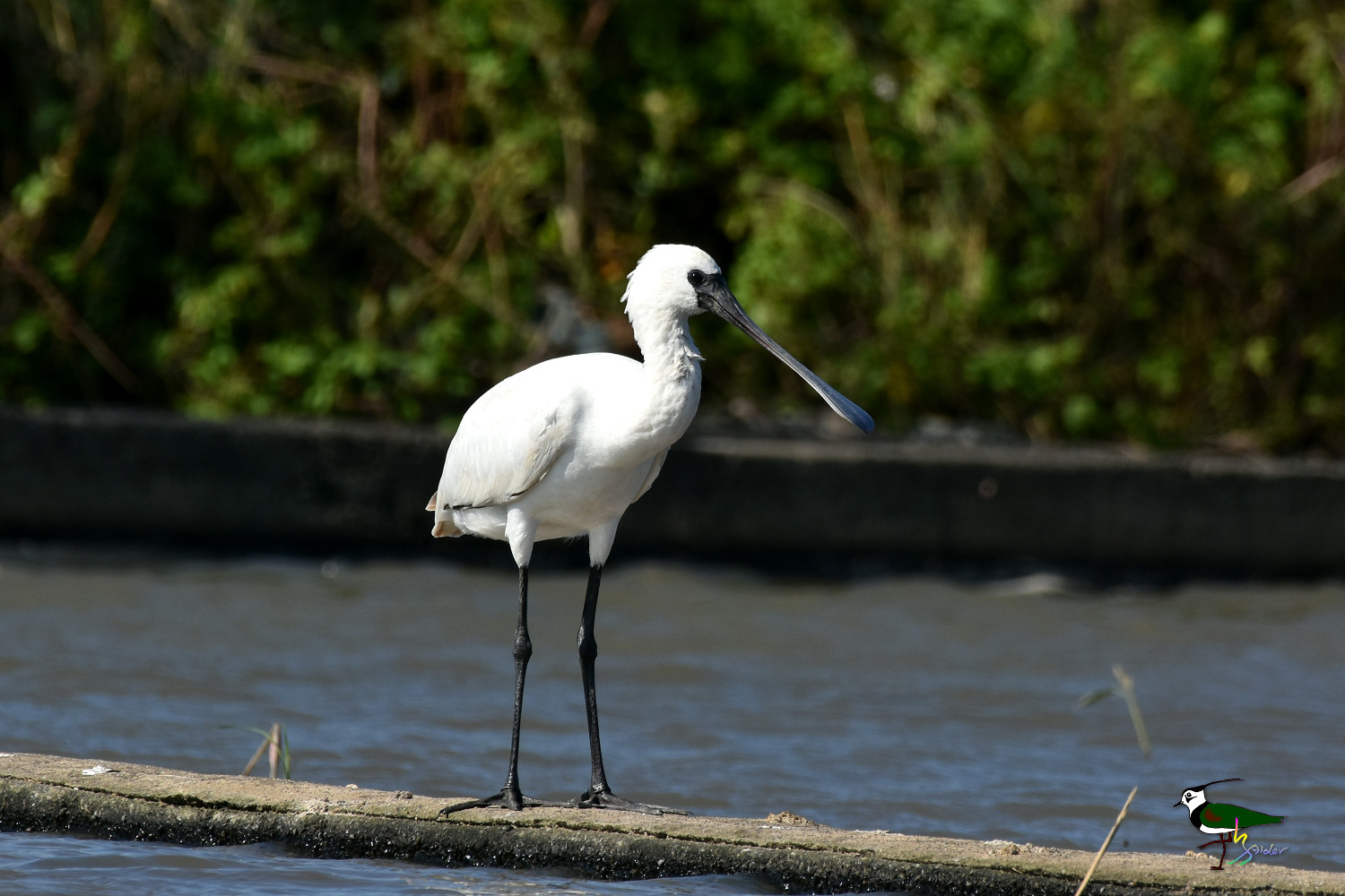 Black-faced_Spoonbill_0403