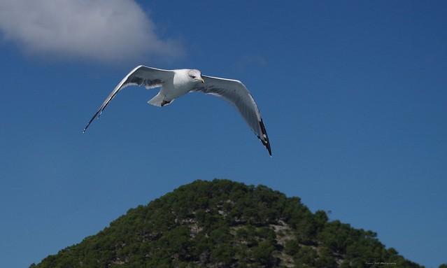 Gull in flight feeding from hand  (5)
