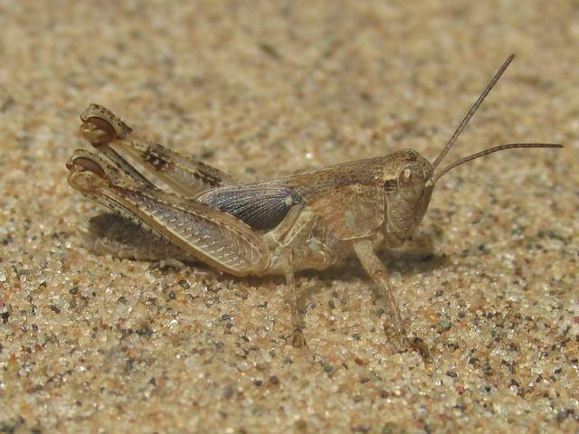 Melanoplus fluviatilis, nymph