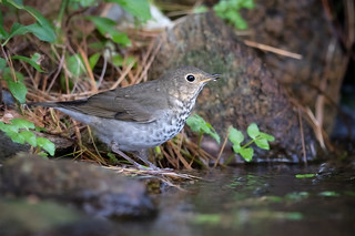 Swainson's Thrush | by Rob & Amy Lavoie