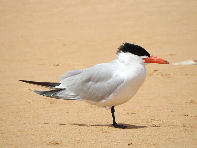 Caspian Tern at Peterborough