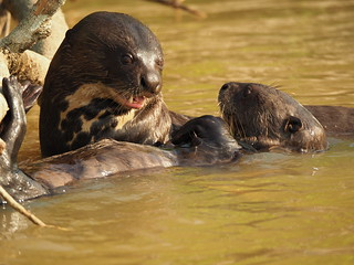 P9261348 Giant Otters | by Joanna P Dale