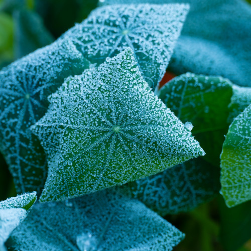 First frost of autumn: nasturtium leaves