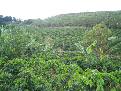 doka estates - coffee field 2 | by Tony O.