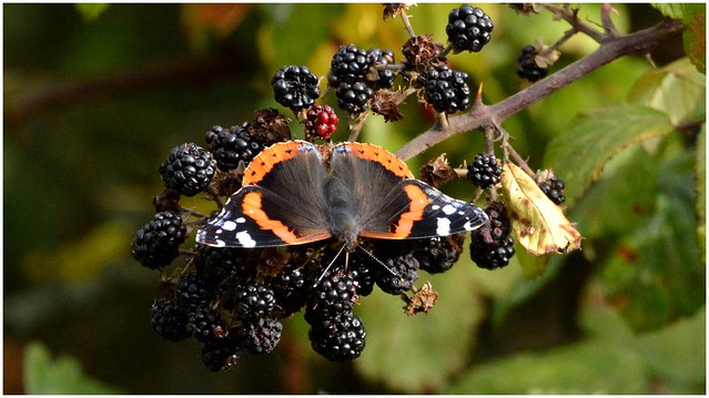 An Autumn Red Admiral butterfly feeding on brambles...