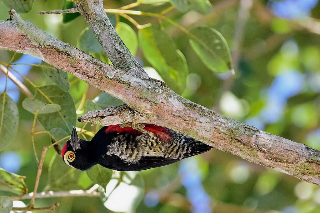 Златохохлый меланерпес, Melanerpes cruentatus, Yellow-tufted Woodpecker