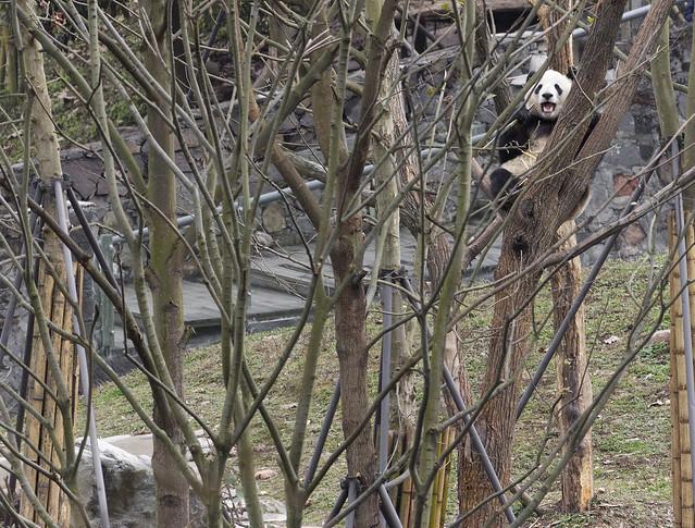 Trees in Dujiangyan Panda Base, Shiqiao (Qingchengshan), Dujiangyan, Sichuan, China