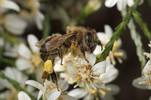 European Honeybee, mysteriously deceased
