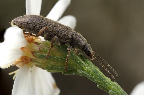 Darkling Beetle - Alleculinae